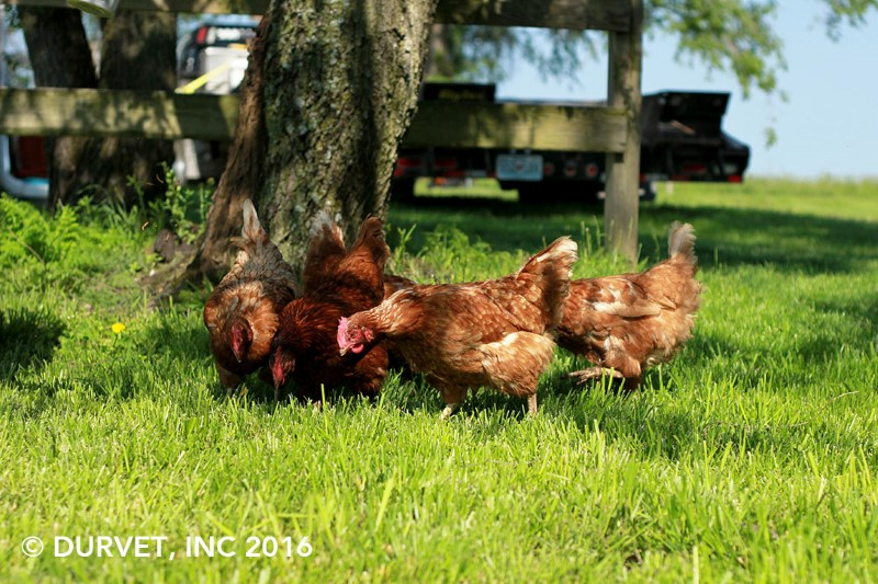 5 Tips for Keeping Your Chickens Cool This Summer…By Kassie Kreissler