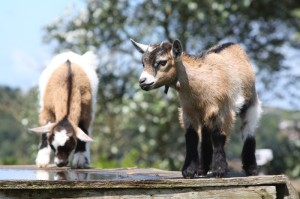 kid-goats