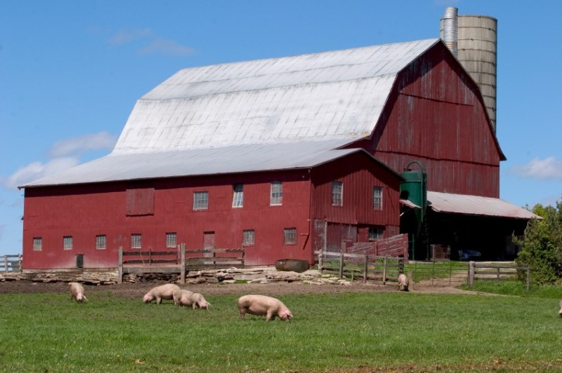 pigs-barn