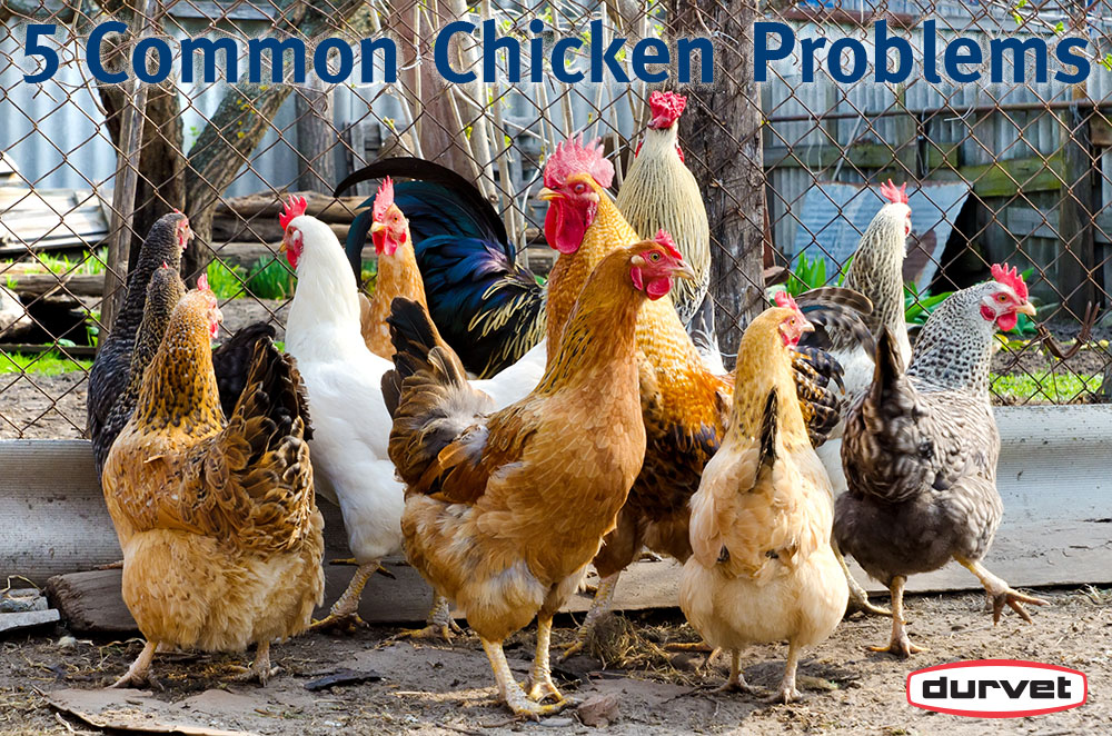 5 Common Chicken Diseases Every Chicken Keeper Should Know About