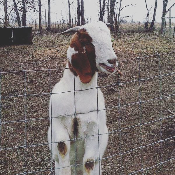 Lessons I've Learned From Owning and Showing Goats